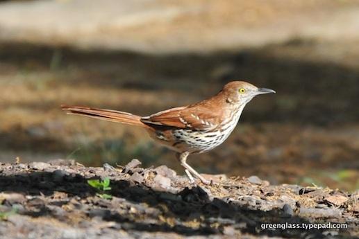 1-Backyard birds 7